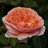 Picture of Ali Mau Std 80cm-Rose