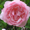 Picture of Duchesse de Brabant-Rose