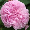 Picture of Jacques Cartier-Rose