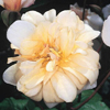 Picture of Perle d' Or-Rose