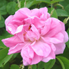 Picture of Trigintipetala-Rose