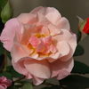 Picture of Clair Matin Clg-Rose