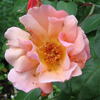Picture of Meg Clg-Rose