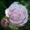 Picture of Centifolia Cottage Maid-Rose