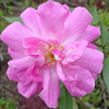 Picture of Old Blush-Rose