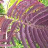Picture of Albizia Summer Chocolate