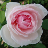 Picture of The Wedgewood Rose-Rose