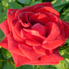 Picture of Crimson Glory-Rose