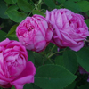 Picture of La Reine-Rose