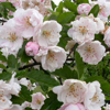 Picture of Malus Crabapple Ioensis Plena H/W 1.5