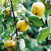Picture of Quince Smyrna