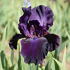 Click for Perennials/Iris