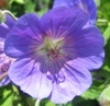 Click for Perennials/Geraniums