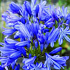 Click for Perennials/Agapanthus