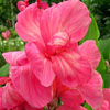 Click for Perennials/Canna