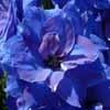 Click for Perennials/Delphiniums