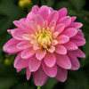 Click for Perennials/Dahlias