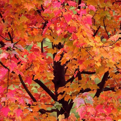 Acer Autumn Glory At Wairere Nursery Buy Online