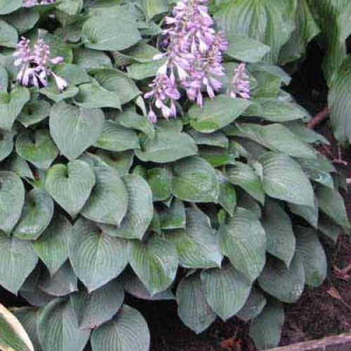 Hosta Pacific Blue Edger At Wairere Nursery Buy Online