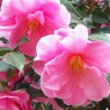 Click for Camellias/New-To-Us