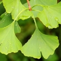 Click for Trees_Deciduous/Ginkgo