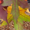 Click for Trees_Deciduous/Liquidambar