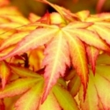 Click for Trees_Deciduous/Acer