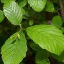 Click for Trees_Deciduous/Alnus