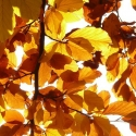Click for Trees_Deciduous