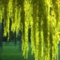 Click for Trees_Deciduous/Salix