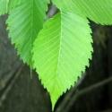 Click for Trees_Deciduous/Ulmus