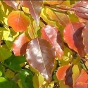 Click for Trees_Deciduous/Pyrus