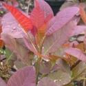 Click for Trees_Deciduous/Cotinus