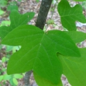 Click for Trees_Deciduous/Liriodendron