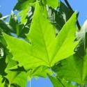 Click for Trees_Deciduous/Platanus