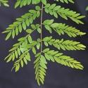 Click for Trees_Deciduous/Gleditsia