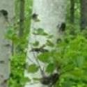 Click for Trees_Deciduous/Betula