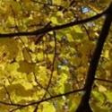 Click for Trees_Deciduous/Tilia