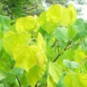 Click for Trees_Deciduous/Cercis