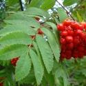 Click for Trees_Deciduous/Sorbus