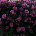 Click for Camellias/Hedging