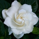 Click for Shrubs/Gardenia