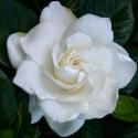 Click for Shrubs/Gardenia