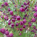 Click for Shrubs/Boronia
