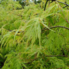 Picture of Acer Viridis L/W