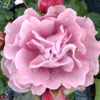 Picture of Angel Face-Rose