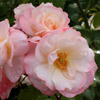 Picture of Anniversary Std 80cm-Rose