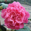 Picture of Camellia Anticipation