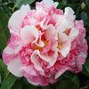 Picture of Camellia Anticipation Variegated