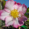 Picture of Camellia Apple Blossom